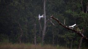 Javanicus de Lesser Adjutant Bird Leptoptilos en naturaleza metrajes