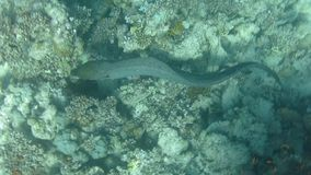 Javanicus de Moray Eel Gymnothorax del gigante almacen de metraje de vídeo