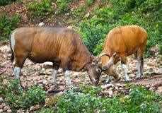 Javanicus do Bos de Banteng ou touro asiático do sudeste fotografia de stock