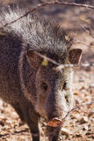 Javelina Royalty Free Stock Image