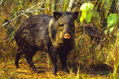 Javelina Stock Photography