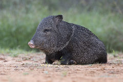 Javelina Royalty Free Stock Photo