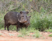 Javelina. Adult Javelina in the Rio Grande Valeey of South Western Texas Stock Images