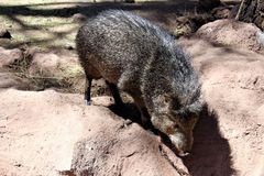 Javelina. Brown and grey Javelina climbing in the desert in northern Arizona Royalty Free Stock Image