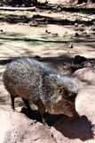 Javelina. Brown and grey Javelina walking in the desert in northern Arizona Stock Photo