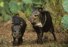 Javelina in Cactus Stock Photo