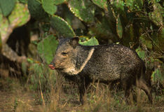Javelina in Cactus Stock Image