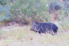 Javelina by cactus Royalty Free Stock Photos