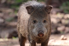 Javelina or collard peccary (Pecari tajacu) Stock Photos