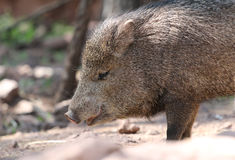 Javelina or collard peccary (Pecari tajacu) Stock Photo