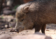 Javelina or collard peccary (Pecari tajacu) Royalty Free Stock Photos