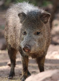 Javelina or collard peccary (Pecari tajacu) Stock Images