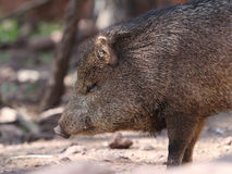 Javelina or collard peccary (Pecari tajacu) Stock Photography