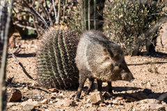 Javelina in the Desert Stock Images