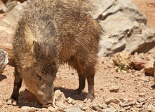 Javelina (Peccary) in Arizona's Desert Royalty Free Stock Photo