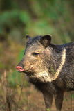 Javelina Portrait Royalty Free Stock Photos