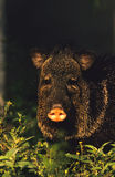 Javelina Portrait. Head on close up of a javelina in early morning light Stock Photo