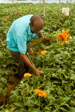 JAVERA FLOWER CULTIVATION Stock Photo