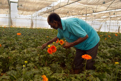 JAVERA FLOWER CULTIVATION Stock Photos
