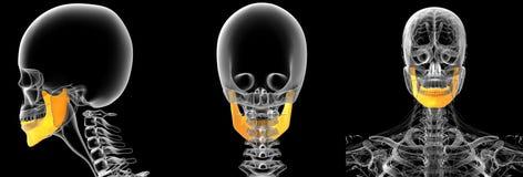 Jaw bone. 3d rendering medical illustration of the jaw bone Stock Image
