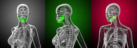 Jaw bone. 3d rendering medical illustration of the jaw bone Royalty Free Stock Image