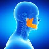 The jaw bone. Medical illustration of the jaw bone Stock Photo