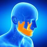 The jaw bone. Medical illustration of the jaw bone Stock Photography