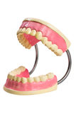 Jaw of dentist's sample teeth Royalty Free Stock Photo