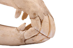 Jaw of domestic horse Stock Photos