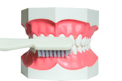 Jaw and toothbrush 2 Royalty Free Stock Image
