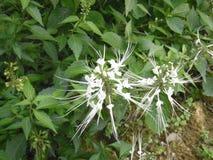 Jawa herbaciany kwiat Zdjęcia Stock