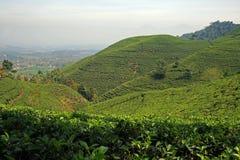 Jawa herbaty pola Zdjęcia Stock