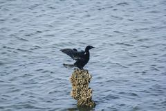 Jawajski kormoran na skałach w wodzie fotografia royalty free