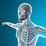 Jawbone x-ray Royalty Free Stock Images