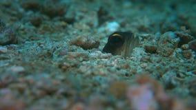 Jawfish stock video footage