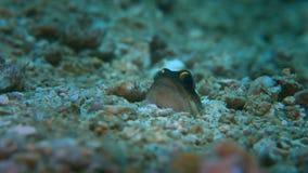 jawfish zbiory