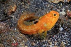 Jawfish Stock Photography