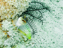 Jawfish de Yellowbarred fotografia de stock