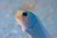 Jawfish de Yellowhead Photos libres de droits