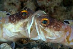 Jawfish di combattimento? Fotografia Stock Libera da Diritti