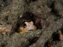 Jawfish is hiding in the hard coral. Jawfish is hiding in the hold of hard coral Royalty Free Stock Photography