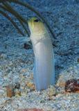 Jawfish Roatan Yellowhead, Гондурас Стоковые Изображения