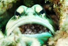 Jawfishes Fotografering för Bildbyråer