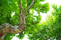 jaworowi drzewa obraz stock