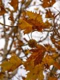 Jaworowy drzewo Zdjęcie Royalty Free