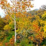 Jaworowy drzewo w jesieni Zdjęcia Royalty Free