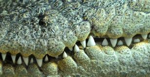 Jaws. The sharp pointed teeth of a crocodile stock photos