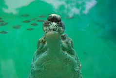 Jaws. Confrontational shot of a gharial, taken at the Singapore Zoological Gardens Stock Photos