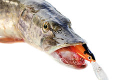 Jaws of a pike with wobbler Royalty Free Stock Photo