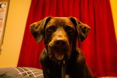 Jaxx le chien de garde images stock